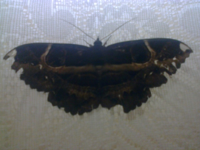 buttermoth_01
